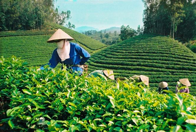 Những điều cần biết khi tìm việc làm sản xuất chè tại Thái Nguyên